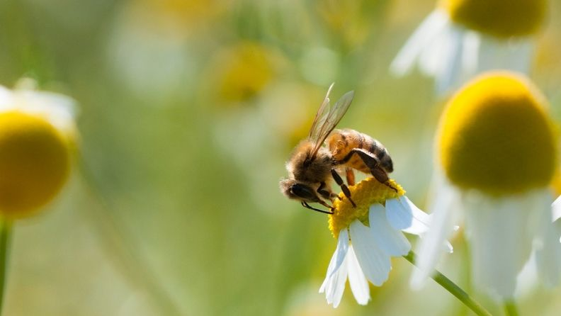 A honeybee collects pollen from a Camomile flower